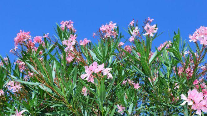 die besten 25 oleander vermehren ideen auf pinterest oleander pflege oleander schneiden und. Black Bedroom Furniture Sets. Home Design Ideas