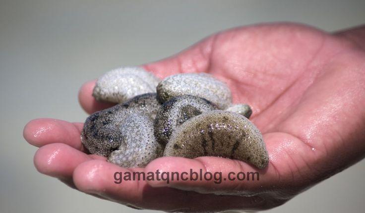 Manfaat Teripang Emas Untuk Kesehatan - Teripang adalah makhluk laut (terkait dengan landak laut dan bintang laut) yang hidup di seluruh dunia di dasar laut http://gamatqncblog.com/manfaat-teripang-emas-untuk-kesehatan/