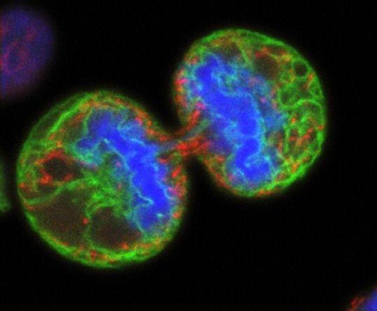 Célula de melanoma humana dividiéndose vista con microscopio confocal. Los cromosomas (azul) se han separado y las dos células hijas casi se han partido, sólo queda un pequeño puente de citoplasma. La tinción verde marca el retículo endoplásmico y las etiquetas rojas son las mitocondrias. Imagen de Paul J. Smith y Rachel Errington