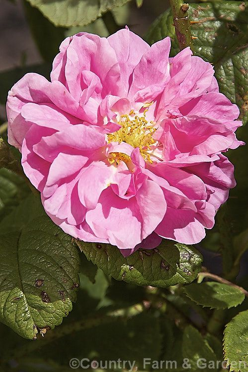 Rosa 'Trigintipetala' (syn. 'Kazanlik'), raised by Dieck of Germany before 1850, this strongly scented, loose semi-double-flowered Damask shrub rose grows to over 2m high and wide. It flowers only once in late spring and is widely used to produce attar of roses.