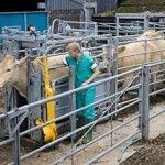 The accuracy of TB testing may be affected in cattle infected with liver fluke, according to researchers. Work is under way at Nottingham Trent University to determine the effect the parasite has on cattle immunity to TB. - See more at: http://globalmilling.com/liver-fluke-may-hinder-accuracy-of-tb-test/#sthash.4R2Vp3hW.dpuf