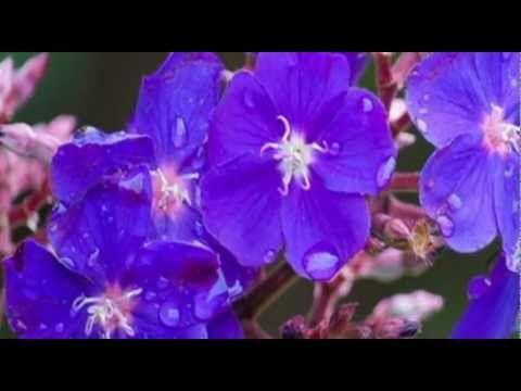 PRINCESS  FLOWER