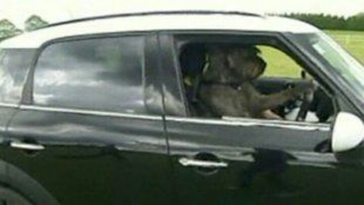 Three rescued dog were taught to drive a car for real neat