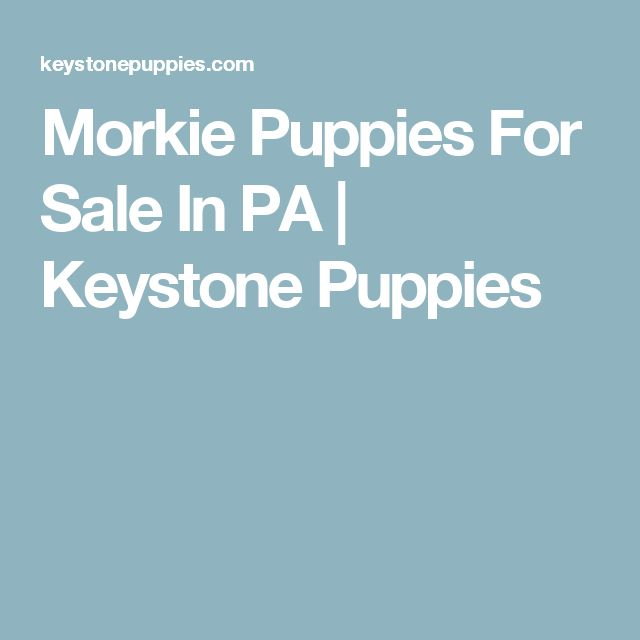 Morkie Puppies For Sale In PA | Keystone Puppies