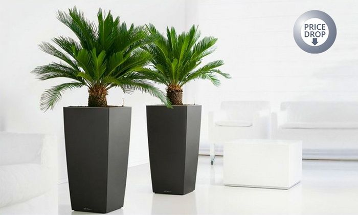 Gardening Express: Two Cycad King Sago Palm Trees for £24.99 With Free Delivery (69% Off)