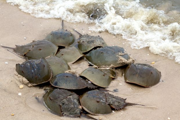 10 Hard-Shelled Facts About Horseshoe Crabs | Mental Floss