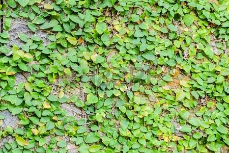Ficus Pumila Creeping Fig Vine To Keep On The Fence In