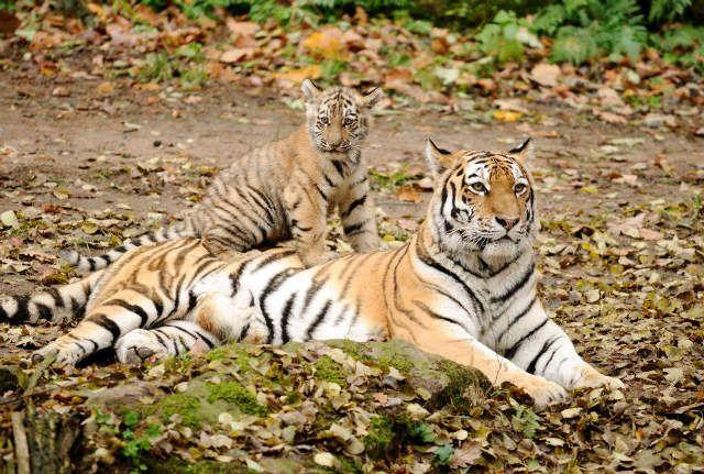 Sibirischer Tiger (Panthera tigris altaica) mit einem Jungen, Zoologischer Tiergarten Augsburg, Deutschland - jetzt bestellen auf kunst-fuer-alle.de