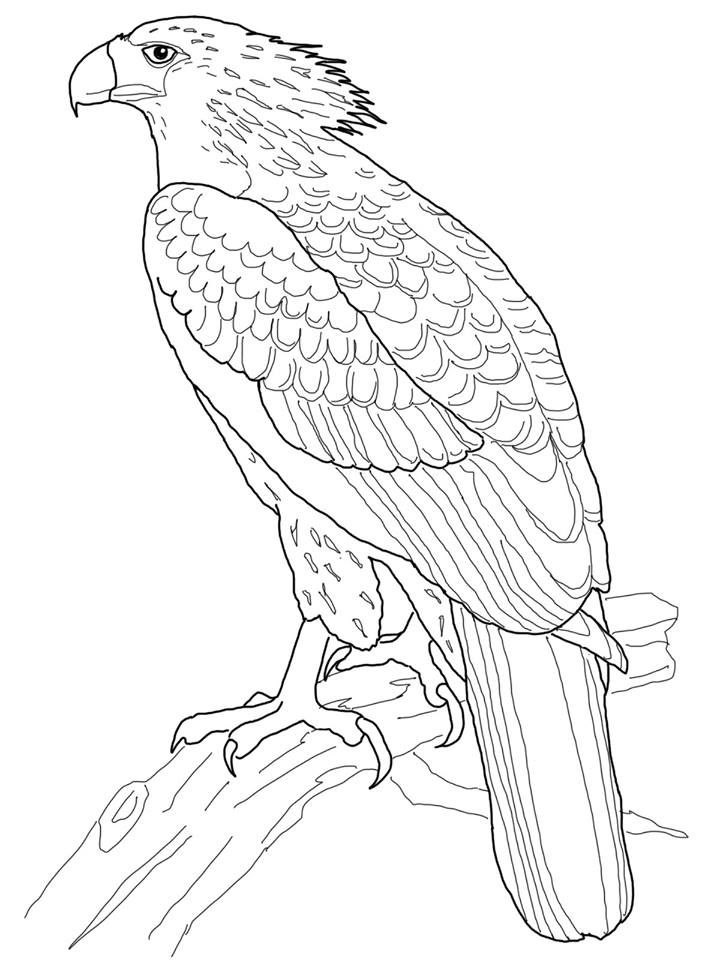 Simple Eagle Coloring Book 73 Philippine Eagle coloring page