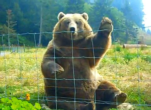 Image result for keep the bear away from the farm