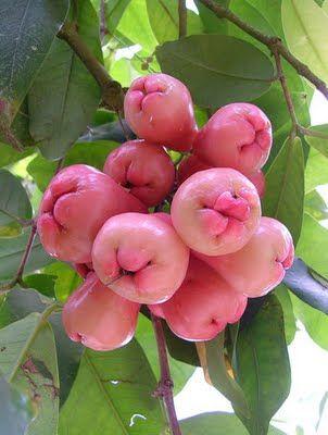 Java apple ( Jambu Air ) Miss plugging it ,  from  far away............homeland  garden