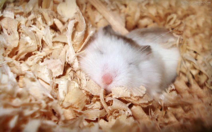 Hamst | ... hamster branco hamstes branco imagem de hamster hamster brancos tipos