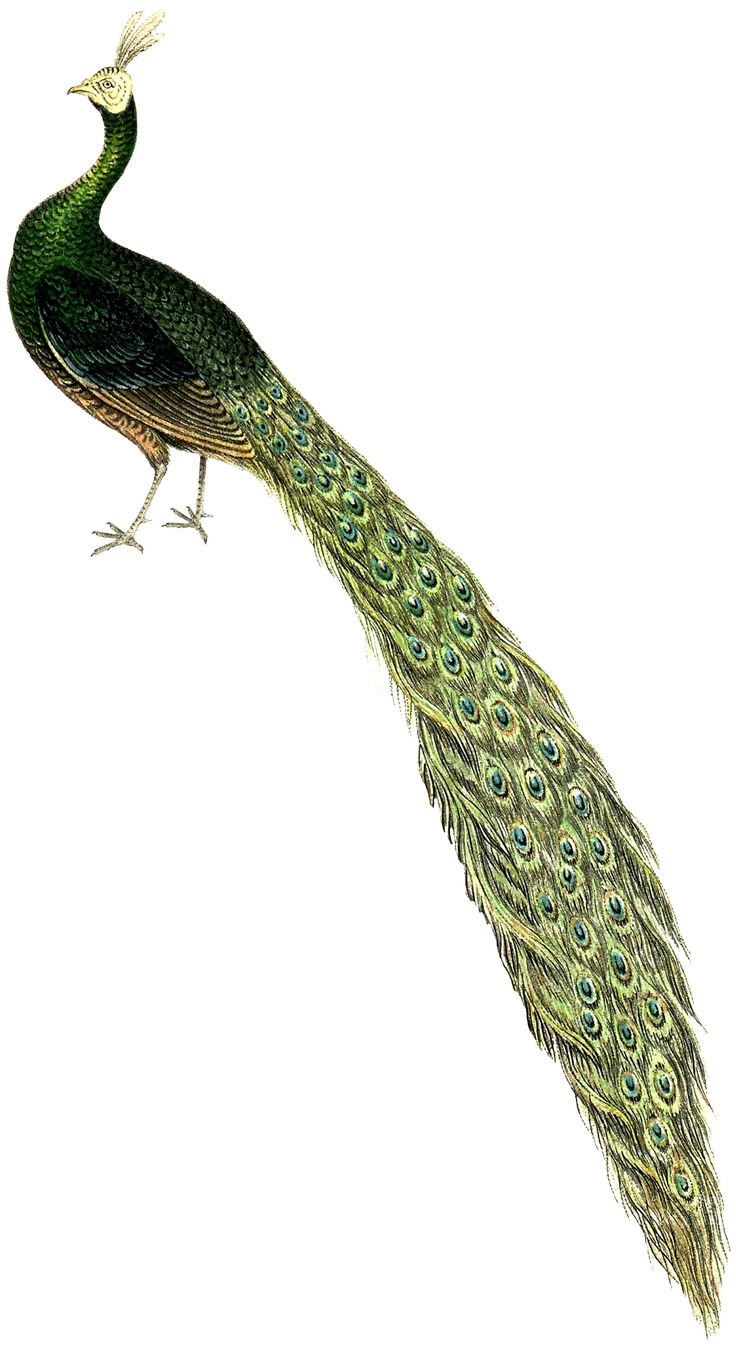 Royalty Free Peacock Image--The Graphics Fairy