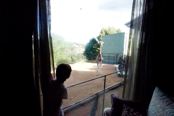Look who's outside the bedroom window today at Jamala Wildlife Lodge. Read about how you can play hide and seek with a giraffe (or a tiger or a bear) on our website http://www.suitcasesandstrollers.com/articles/view/family-friendly-accommodation-jamala-wildlife-lodge-canberra?l=all #GoogleUs #suitcasesandstrollers #travel #travelwithkids #familytravel #familytraveltips #traveltips #hotels #wildlife #giraffe #outthewindow #peekaboo #hidenseek