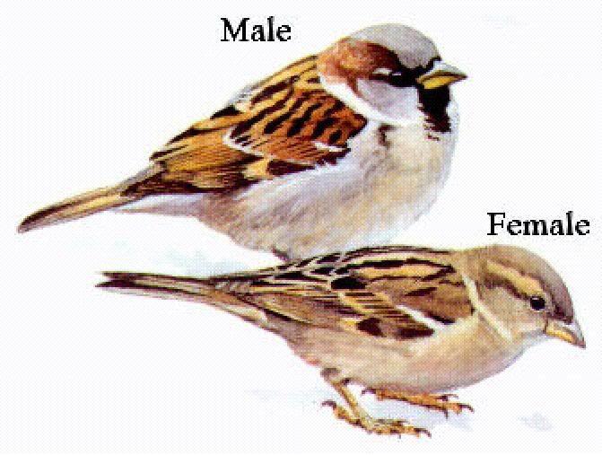 House sparrow (nestled amongst flowers)