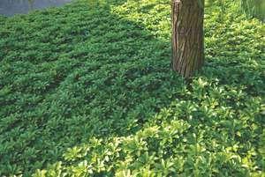 Pachysandre du Japon-Couvre-sol pr zone ombrée. Semi-ligneux bas (20-30 cm), drageonnant et formant des matelas. Petites fleurs blanchâtre en Avril-Mai. Croissance lente. bien cultivé, surtout meuble et n'ayant pas de tendance au compactage, humique, frais à modérément sec, à pH de 5,5 à 6,5 (voire aussi légèrement alcalin). Les sols trop acides provoquent une mauvaise croissance. Rustique, mais parfois sensible aux gels tardifs au stade juvénile, supporte la pression racinaire d'autres…