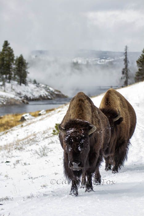 Bison in the Snow, Yellowstone National Park, Wyoming, USA