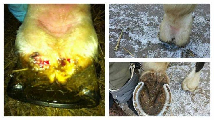Horses mud fever healed in 3wks with Forever Vet Formula & Aloe Vera Gelly.
