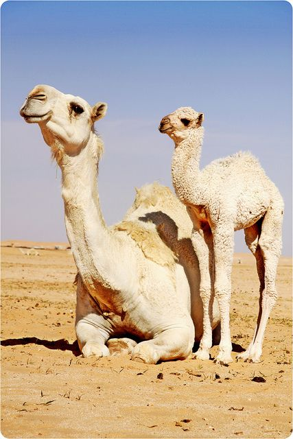 by ~*~No0oNaH~*~, via Flickr - Camels