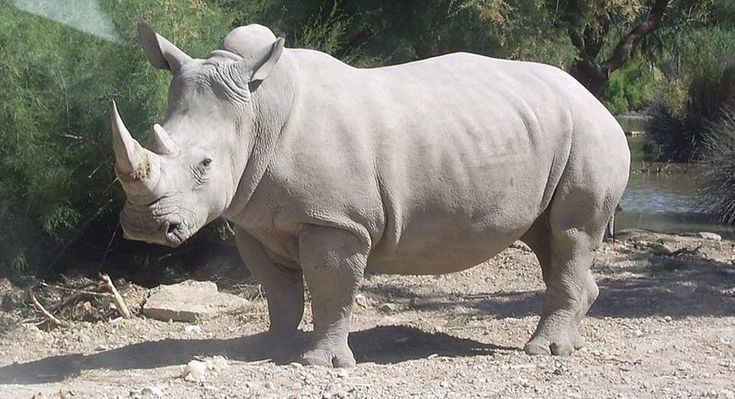 White Rhinoceros - Ceratotherium simum - This species of the family Rhinocerotidae is the largest and most abundant. There are actually 2 subspecies : (1) Northern white Ceratotherium simum cottoni - only 7 remain  (2) Southern white Ceratotherium simum simum - almost 18,000 wild ones remain - Recent research shows the Northern may be a separate species and not a subspecies- Image : Southern species