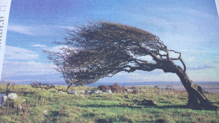 A hawthorn tree sculpted by the wind