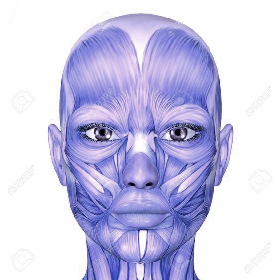 Before you start sketching , it's a good idea to take a note of muscle anatomy of the face. Observe carefully and try to follow direction of each muscle with your gaze, allowing visual memory to set in for upcoming exersise.