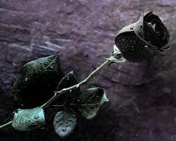 Gambar Bunga Mawar Hitam Menakjubkan