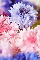 Cornflowers in shades of pink and blue.