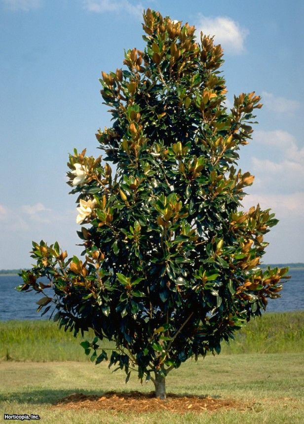 Southern Magnolia (Magnolia grandiflora 'Little Gem'). Max height about 25' feet. In stock at Moon Mountain, 2' square box is approx. 6-8' high. $299 installed. About a 1 week lead time for install. I would recommend pruning up to see more trunk.