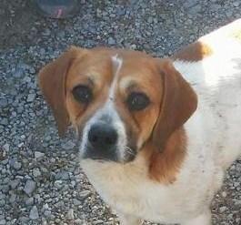Meet Chance, a Petfinder adoptable Beagle Dog | Washington, DC