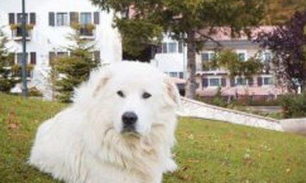 Rigopiano, Neve non ce l'ha fatta: morto il pastore mascotte - http://www.sostenitori.info/rigopiano-neve-non-ce-lha-fatta-morto-pastore-mascotte/278293