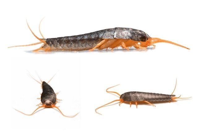 Did you know that if you store them in a dark, damp place, your most valuable possessions—rare books, important papers, and designer clothes—are in danger of being eaten by a sly, silver marauder? Read on to learn how to rid your home of silverfish, ravenous pests with insatiable appetites.