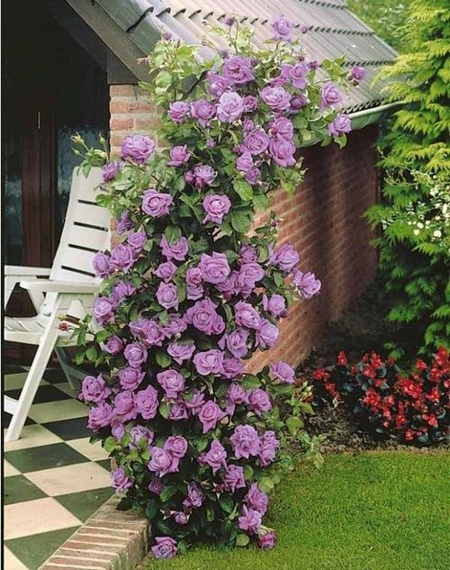 "Climbing Rose ""Indig Beautiful gorgeous pretty flowers"
