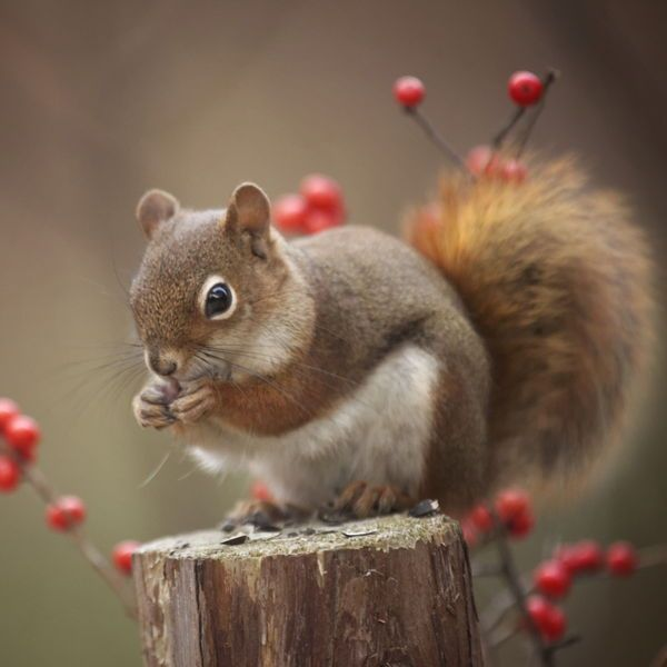 Awww.... picture perfect... beautiful squirrel with a backdrop of stump and berries....