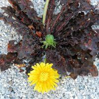 Taraxacum rubrifolium...red leafed Dandelion.: Rubrifolium R Leaf, Taraxum Rubrifolium, Daisies, Taraxacum Rubrifolium R
