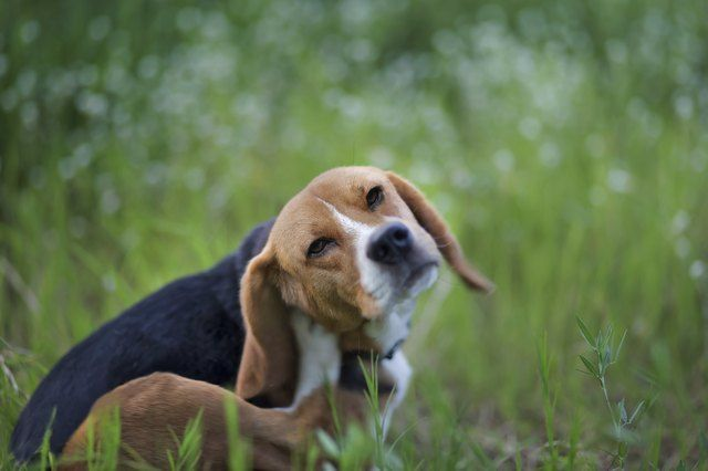 Beagle Dog In The Wiild Flower Field Beagle Dog In The Wiild