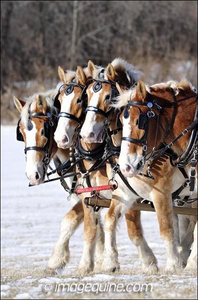 horses in harness