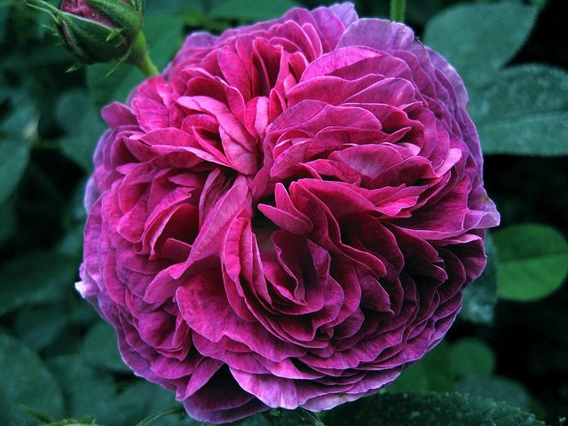 another beautiful shot of Belle de Crecy - a Gallica   photo taken by:  #Sogno_all'Alba  #Antique_Rose  #Belle_De_Crecy