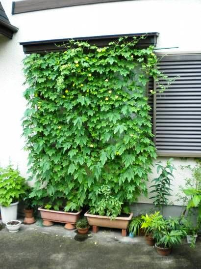 green curtain - growing hops