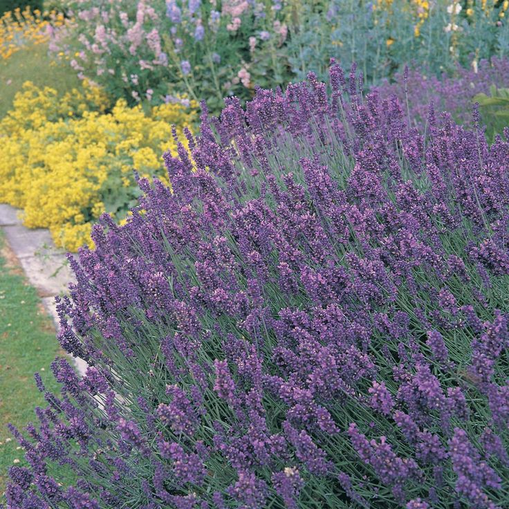 Lavender: Repels fleas, ticks, deer, moths, mice, black fly and mosquitoes.