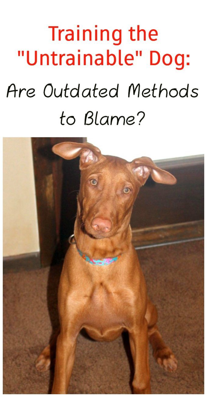 Untrainable dog? Maybe you're using the wrong method! Check out what I learned from PawCulture that helped me train my Pharaoh Hound! #ad #PawCulture