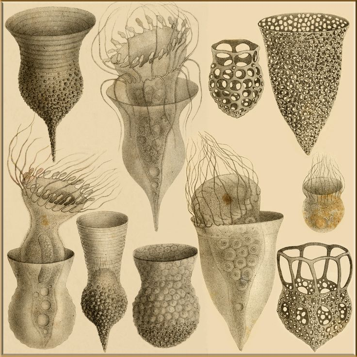 Tintinnids of Ernst Haeckel                                                                                                                                                                                 More