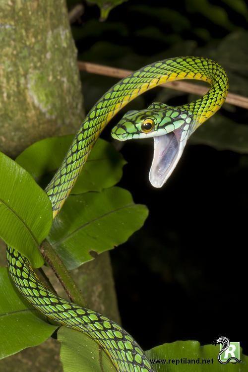Un serpent perroquet (Leptophis ahaetulla) qui baille au moment de la photo. Cette dernière a été prise dans le parc national Madidi, en Bolivie. Ce parc a été déclaré par les scientifiques comme l'une des plus importantes biodiversités de la planète.