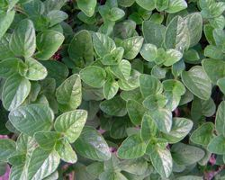 Oregano tea benefits including the digestive  & respiratoy systems. The antioxidant properties can help boost the immune system to help prevent illness, as well as to treat them. It can be used externally to help cleanse and disinfect minor wounds, and is a great way to help with bloating and menstrual cramps. It is an effective mouthwash and is an effective topical application for the treatment of acne or sores on the skin. [It's very easy to grow & harvest your own!]
