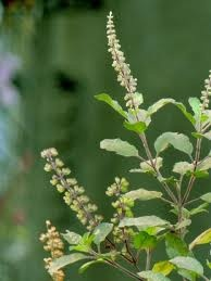 Tulsi or Thulasi, also called the Queen of herbs (Ocimum tenuiflorum or Ocimum Sanctum). The tulsi plant has many medicinal properties. The leaves are a nerve tonic and also sharpen memory