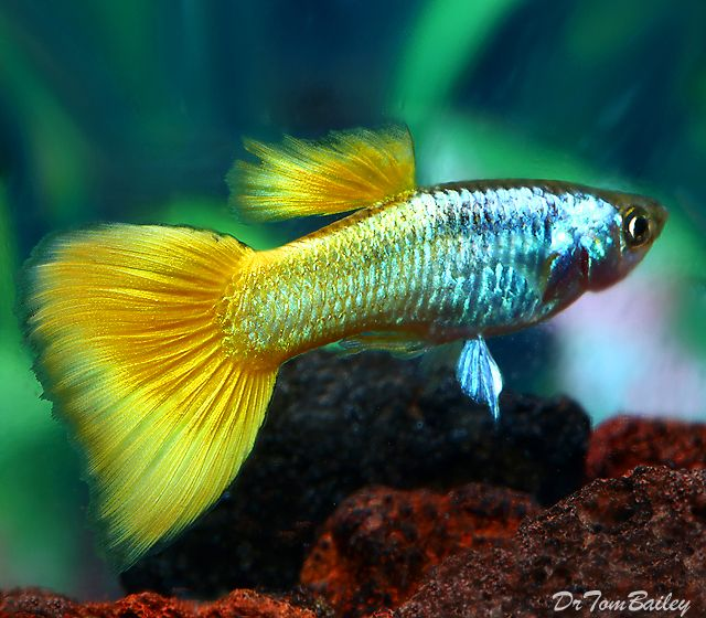 Guppy fish types of guppies species colour and tail for Tropical fish species