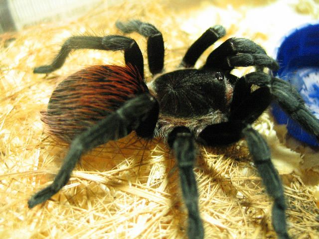 Mexican Red Rump Tarantulas for sale at Voracious Reptiles