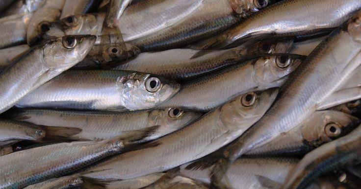 Hábitos de alimentación del atún. El atún es un pez oportunista, dado que se adapta a los alimentos disponibles en el entorno en el que se encuentra. Aunque hay muchos tipos, cuatro de las especies más comunes incluyen el de aleta azul, el de aleta amarilla, el albacora y el patudo. Todas estas especies utilizan la vista, en lugar del olfato o el oído, para atraer y cazar de forma ...