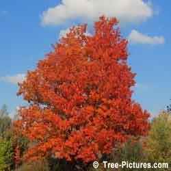 Maple Trees, Red Leaf Maple Tree Photo, Sugar Maple variety produces Maple Syrup | Maple Trees at Tree-Pictures.com