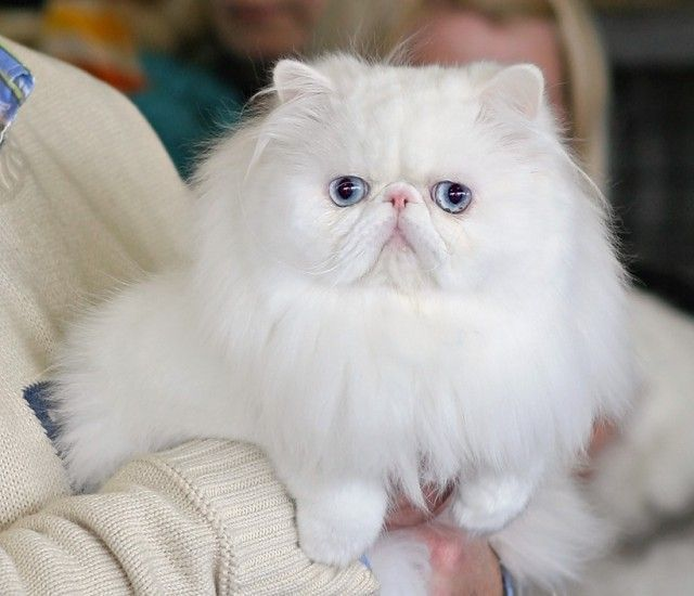 All Blues Eye Are All White Cats With Blue Eyes Deaf Metaphorical Platypus Persian Cat White Cat With Blue Eyes Persian Cat
